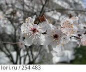 Купить «Красивые белые цветы», фото № 254483, снято 17 марта 2008 г. (c) Олег Дрыго / Фотобанк Лори