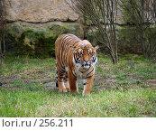 Купить «Тигр из Пражского зоопарка», фото № 256211, снято 20 января 2008 г. (c) Юлия Бобровских / Фотобанк Лори
