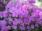 Цветущая азалия, фото № 261543, снято 12 апреля 2008 г. (c) Заноза-Ру / Фотобанк Лори