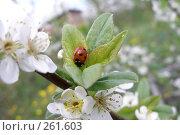 Купить «Божья коровка на ветке яблони», фото № 261603, снято 20 мая 2007 г. (c) Мажугин Алексей / Фотобанк Лори
