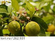 Купить «Весна идет - цветут лимоны», фото № 262931, снято 29 марта 2008 г. (c) Борис Ганцелевич / Фотобанк Лори