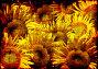 Фон с подсолнухами, иллюстрация № 263071 (c) Лукиянова Наталья / Фотобанк Лори