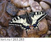 Купить «Махаон», фото № 263283, снято 28 июня 2007 г. (c) Сергей Нестеров / Фотобанк Лори