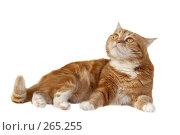 Купить «Рыжий кот», фото № 265255, снято 17 февраля 2008 г. (c) Cветлана Гладкова / Фотобанк Лори
