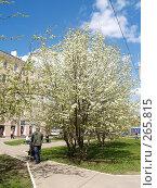 Купить «Цветущее фруктовое дерево», фото № 265815, снято 26 апреля 2008 г. (c) Примак Полина / Фотобанк Лори