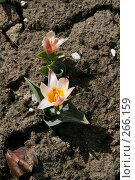 Розово-белые тюльпаны. Стоковое фото, фотограф Карасева Екатерина Олеговна / Фотобанк Лори