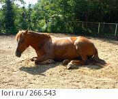 Купить «Лежащая лошадь», фото № 266543, снято 14 августа 2007 г. (c) Шавыкин Александр / Фотобанк Лори