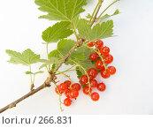 Купить «Ветка красной смородины», фото № 266831, снято 12 августа 2006 г. (c) Анатолий Заводсков / Фотобанк Лори