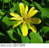 Купить «Лютик весенний или чистяк (лат. Ranunculus ficaria)», эксклюзивное фото № 267099, снято 29 апреля 2008 г. (c) lana1501 / Фотобанк Лори