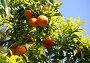 Ветка апельсинового дерева, фото № 267115, снято 13 апреля 2008 г. (c) Морозова Татьяна / Фотобанк Лори