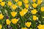 Клумба желтых тюльпанов солнечным днём, фото № 269643, снято 1 мая 2008 г. (c) Федор Королевский / Фотобанк Лори