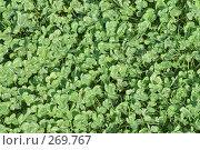 Купить «Коврик из листьев клевера.Trifolium», фото № 269767, снято 1 мая 2008 г. (c) Федор Королевский / Фотобанк Лори