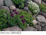 Купить «Карликовые фиолетовые ирисы, цветущий мох и очиток на альпийской горке», фото № 269823, снято 1 июня 2006 г. (c) Ольга Дроздова / Фотобанк Лори