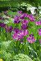 Тюльпаны фиолетовые. Весенние краски - пора цветения, фото № 269827, снято 1 мая 2008 г. (c) Федор Королевский / Фотобанк Лори