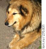 Купить «Голова лохматой собаки», фото № 270831, снято 7 мая 2007 г. (c) Олег Хархан / Фотобанк Лори