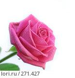 Купить «Свежая розовая роза на белом фоне», фото № 271427, снято 1 марта 2008 г. (c) Вероника Галкина / Фотобанк Лори