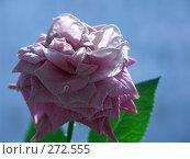 Купить «Цветок розы», фото № 272555, снято 26 апреля 2008 г. (c) Хижняк Сергей / Фотобанк Лори