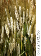 Купить «Пшеница», фото № 272755, снято 20 апреля 2008 г. (c) Морозова Татьяна / Фотобанк Лори