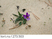 Купить «Фиалка на песке», фото № 273503, снято 21 декабря 2007 г. (c) Вячеслав Потапов / Фотобанк Лори