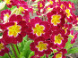 Примула малиновая - Primula, фото № 274327, снято 26 мая 2007 г. (c) Беляева Наталья / Фотобанк Лори