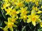 Нарцисс крупнокорончатый желтый - Narcissus, фото № 274555, снято 20 мая 2006 г. (c) Беляева Наталья / Фотобанк Лори