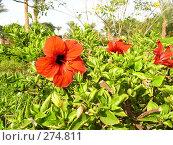 Купить «Цветущий гибискус», фото № 274811, снято 1 января 2003 г. (c) Юлия Дашкова / Фотобанк Лори