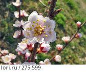 Купить «Цветок абрикоса даурского», фото № 275599, снято 6 мая 2008 г. (c) Геннадий Соловьев / Фотобанк Лори