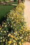 Жёлтые и белые цветы, фото № 275971, снято 18 февраля 2008 г. (c) АЛЕКСАНДР МИХЕИЧЕВ / Фотобанк Лори
