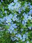 Незабудка лесная - Myosotis sylvatica, фото № 276035, снято 13 июля 2006 г. (c) Беляева Наталья / Фотобанк Лори