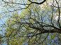 Ветви цветущего клена на фоне неба, фото № 276347, снято 2 мая 2008 г. (c) Заноза-Ру / Фотобанк Лори
