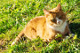 Рыжий кот отдыхает на зеленой траве, фото № 277599, снято 25 апреля 2008 г. (c) Евгений Захаров / Фотобанк Лори