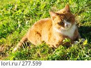 Купить «Рыжий кот отдыхает на зеленой траве», фото № 277599, снято 25 апреля 2008 г. (c) Евгений Захаров / Фотобанк Лори
