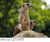 Купить «Суррикат. Лондонский зоопарк», фото № 277815, снято 22 апреля 2007 г. (c) Юлия Бобровских / Фотобанк Лори