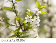Купить «Цветет вишня», фото № 279967, снято 2 мая 2008 г. (c) Вячеслав Потапов / Фотобанк Лори