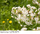 Купить «Вишня цветет», фото № 279971, снято 2 мая 2008 г. (c) Вячеслав Потапов / Фотобанк Лори