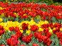 Тюльпаны, фото № 280479, снято 8 мая 2008 г. (c) Игорь Камаев / Фотобанк Лори