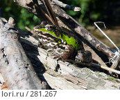 Купить «Прудовая лягушка (Rana lessonae)», фото № 281267, снято 17 августа 2007 г. (c) Максим Рыжов / Фотобанк Лори