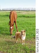 Купить «Пасущаяся лошадь и шотландская овчарка», фото № 281303, снято 20 апреля 2008 г. (c) Олег Хархан / Фотобанк Лори