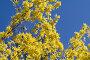 Жёлтая форзиция, фото № 282319, снято 26 апреля 2008 г. (c) Asja Sirova / Фотобанк Лори