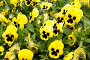 Цветы анютины глазки, эксклюзивное фото № 282891, снято 20 апреля 2008 г. (c) Дмитрий Нейман / Фотобанк Лори