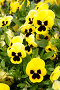 Цветы анютины глазки, эксклюзивное фото № 282899, снято 20 апреля 2008 г. (c) Дмитрий Нейман / Фотобанк Лори