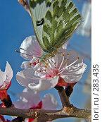 Купить «Бабочка на цветке абрикоса», фото № 283435, снято 13 мая 2008 г. (c) Геннадий Соловьев / Фотобанк Лори
