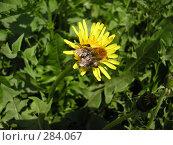 Купить «Пчела на цветке», фото № 284067, снято 13 мая 2008 г. (c) Максим Гавриленко / Фотобанк Лори