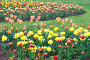 Тюльпаны на поляне. Many tulips on the field outdoor, фото № 284635, снято 10 мая 2008 г. (c) Asja Sirova / Фотобанк Лори