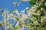 Вишня в цвету, фото № 286643, снято 8 мая 2008 г. (c) Ekaterina Chernenkova / Фотобанк Лори