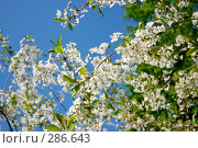 Купить «Вишня в цвету», фото № 286643, снято 8 мая 2008 г. (c) Ekaterina Chernenkova / Фотобанк Лори