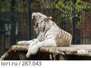 Купить «Белый тигр с открытой пастью», фото № 287043, снято 11 мая 2008 г. (c) Дмитрий Ощепков / Фотобанк Лори