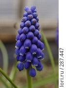 Голубое соцветие. Стоковое фото, фотограф Александр Иванов / Фотобанк Лори