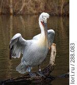 Купить «Пеликан», фото № 288083, снято 20 января 2008 г. (c) Юлия Бобровских / Фотобанк Лори