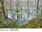 Купить «Березы на болоте», фото № 289851, снято 30 июня 2007 г. (c) Сергей Сынтин / Фотобанк Лори